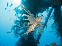 El Lionfish Imágenes de archivo libres de regalías