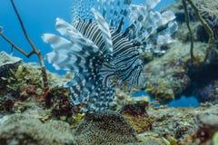 El Lionfish exhibe el arsenal completo de tentáculos en el arrecife de coral Fotografía de archivo libre de regalías