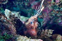 El Lionfish (Pterois) está descansando sobre un arrecife de coral Fotografía de archivo libre de regalías