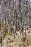 El liquen alto cubrió árboles de abedul de plata del invierno Fotos de archivo