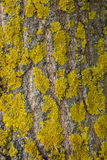 El liquen amarillo en corteza de árbol destruye el bosque Fotografía de archivo
