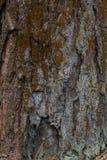 El liquen amarillo en corteza de árbol destruye el bosque Fotos de archivo