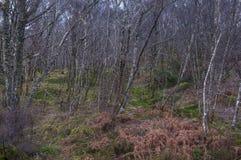 El liquen cubrió árboles de abedul de plata con el helecho y el musgo Fotos de archivo
