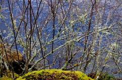 El liquen cubrió arbustos cerca de la orilla foto de archivo