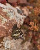 El liquen cubrió rocas con el gran Grayling congregado Imagen de archivo