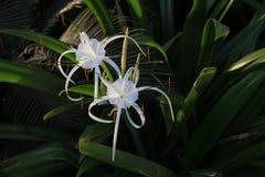 El lirio blanco le gusta la flor con los pétalos largos Fotos de archivo