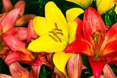 El lirio colorido del jardín fresco florece en un espray del agua entonado Foto de archivo