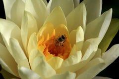 El lirio de agua amarilla de apertura florece con una abeja, macro Imagenes de archivo