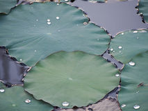 El lirio de agua/el loto verdes se va después de una ducha de lluvia Fotografía de archivo libre de regalías