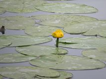 El lirio de agua florece en la charca con agua azul foto de archivo libre de regalías