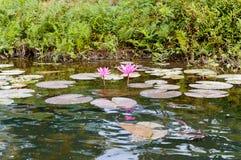 El lirio de agua rosado fotografía de archivo