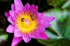 El lirio de agua rosado Lotus y hojas con dos abejas Imágenes de archivo libres de regalías