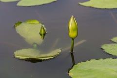 El lirio de agua verde está listo para florecer Foto de archivo