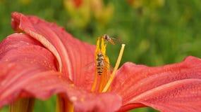 El lirio de día anaranjado florece y abeja en jardín botánico Fotos de archivo