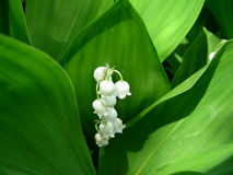 El lirio de los valles dio la flecha con las flores Imagen de archivo libre de regalías