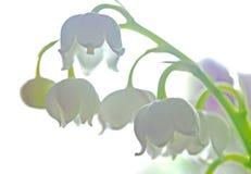 El lirio de los valles floreci? en un fondo ligero, foco suave imagen de archivo libre de regalías