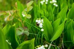 El lirio de los valles hermoso florece con la abeja en el fondo verde de la naturaleza del bokeh de la falta de definición, conce Fotos de archivo libres de regalías