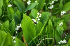 El lirio de los valles hermoso florece con la abeja en el fondo verde de la naturaleza del bokeh de la falta de definición, conce Fotos de archivo