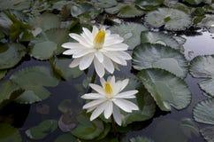 El lirio florece los cojines en la charca en Taiwán imagen de archivo libre de regalías