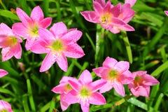 El lirio o el Zephyranthes spp de la lluvia. flor Fotografía de archivo libre de regalías