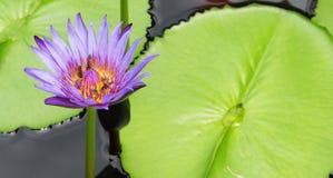El lirio púrpura del loto/de agua con verde se va en la charca Fotografía de archivo