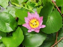 El lirio rosado del loto/de agua con verde se va en la charca Fotografía de archivo