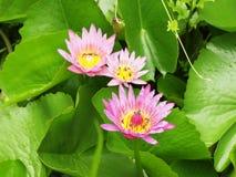 El lirio rosado del loto/de agua con verde se va en la charca Foto de archivo