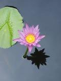El lirio rosado del loto/de agua con verde se va en la charca Imagen de archivo libre de regalías