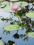 El lirio rosado del loto/de agua con verde se va en la charca Fotografía de archivo libre de regalías