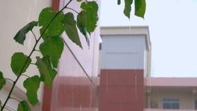 El llover sobre los apartamentos se centra en las hojas de la planta de tiesto fue tirado por 50FPS metrajes