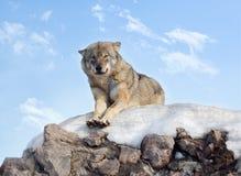 El lobo Fotografía de archivo