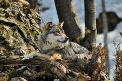 El lobo Fotografía de archivo libre de regalías