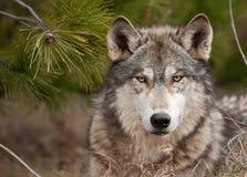 El lobo de madera intenso (lupus de Canis) se sienta bajo pino Foto de archivo libre de regalías