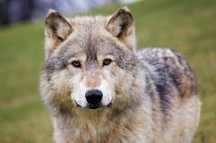 El lobo de madera mira fijamente el espectador Foto de archivo libre de regalías