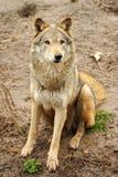 El lobo está en el salvaje imagen de archivo