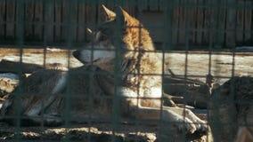 El lobo europeo miente en una piedra en el lupus de los anis del  del parque zoológico Ñ almacen de video
