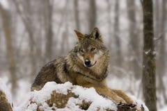 El lobo europeo tiene gusto de una diorama Imagen de archivo