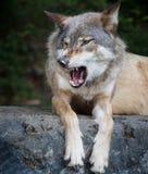 Gruñidos del lobo gris Fotografía de archivo libre de regalías