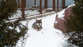 El lobo gris hermoso miente en la nieve en el parque zoológico metrajes