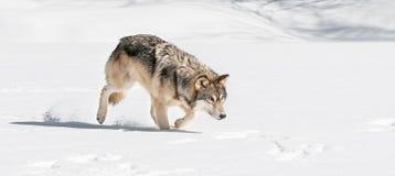 El lobo gris (lupus de Canis) acecha a la derecha a través de nieve Fotos de archivo libres de regalías