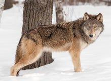 El lobo gris (lupus de Canis) hace una pausa el árbol en nieve Imagen de archivo