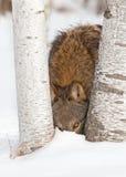 El lobo gris (lupus de Canis) mira entre los árboles de abedul Fotografía de archivo