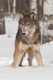 El lobo gris (lupus de Canis) se coloca en la nieve Imagen de archivo libre de regalías
