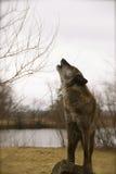 Lobo del grito Imagenes de archivo