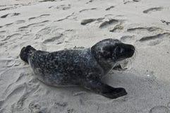 El lobo marino en la playa en Noruega Foto de archivo libre de regalías