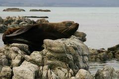 El lobo marino miente en una roca, Nueva Zelanda Foto de archivo