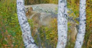 El lobo masculino camina en el bosque y el acercamiento de la manada de lobos almacen de video