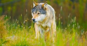 El lobo masculino salvaje que caminaba en la hierba en el otoño coloreó el bosque foto de archivo libre de regalías