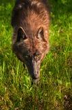 El lobo negro (lupus de Canis) acecha adelante Fotos de archivo libres de regalías