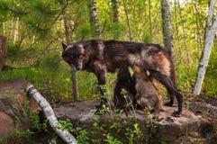 El lobo negro (lupus de Canis) le alimenta los perritos que se colocan en roca Imagenes de archivo